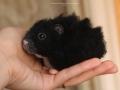 хомячок черный